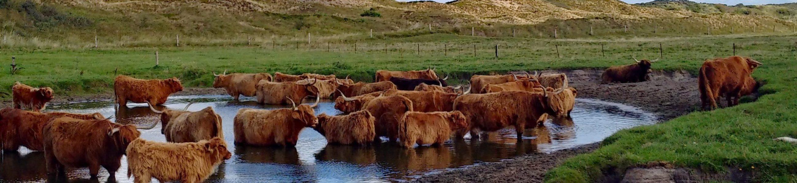 highland-beef-3347997